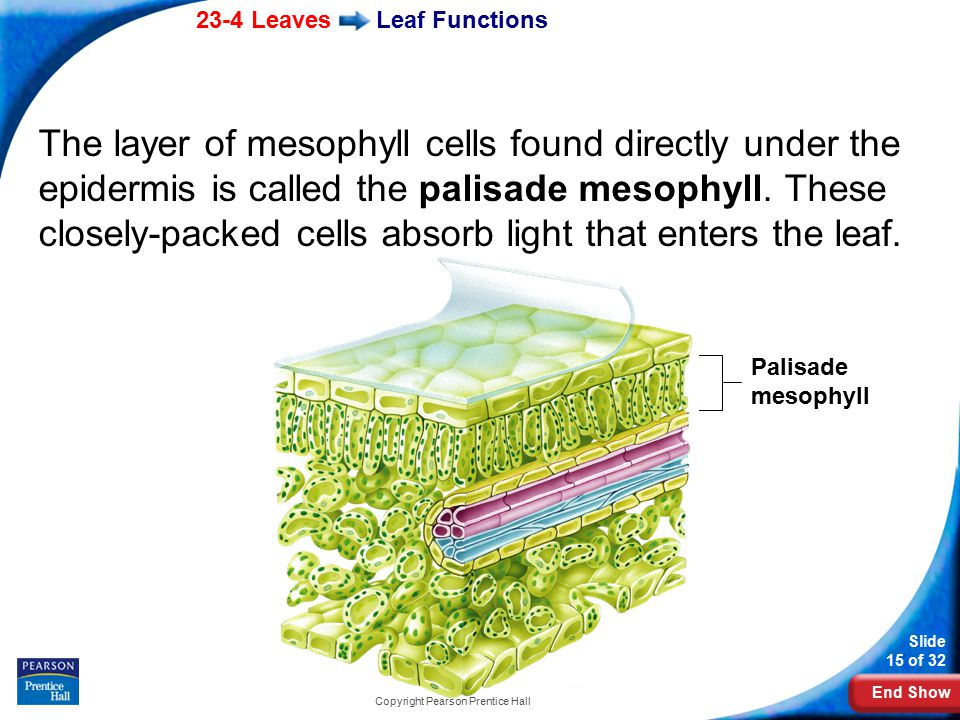 End Show 23-4 Leaves Slide 15 of 32 Copyright Pearson Prentice Hall Leaf Functions The layer of mesophyll cells found directly under the epidermis is called the palisade mesophyll.