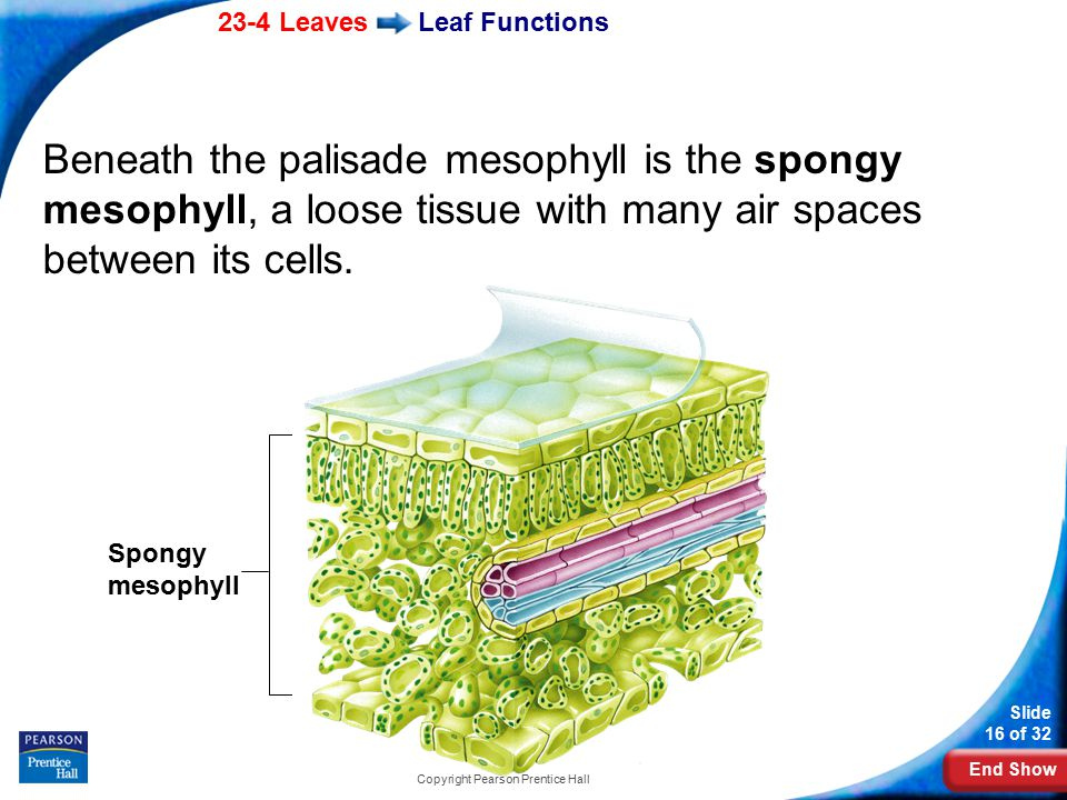End Show 23-4 Leaves Slide 16 of 32 Copyright Pearson Prentice Hall Leaf Functions Beneath the palisade mesophyll is the spongy mesophyll, a loose tissue with many air spaces between its cells.