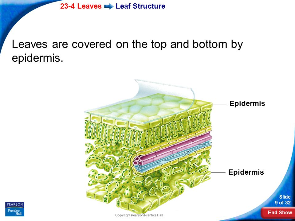 End Show 23-4 Leaves Slide 9 of 32 Copyright Pearson Prentice Hall Leaf Structure Leaves are covered on the top and bottom by epidermis.