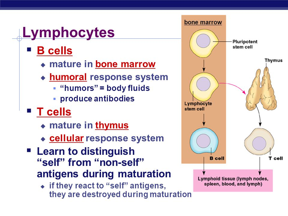 Maturation of t cells and b cells