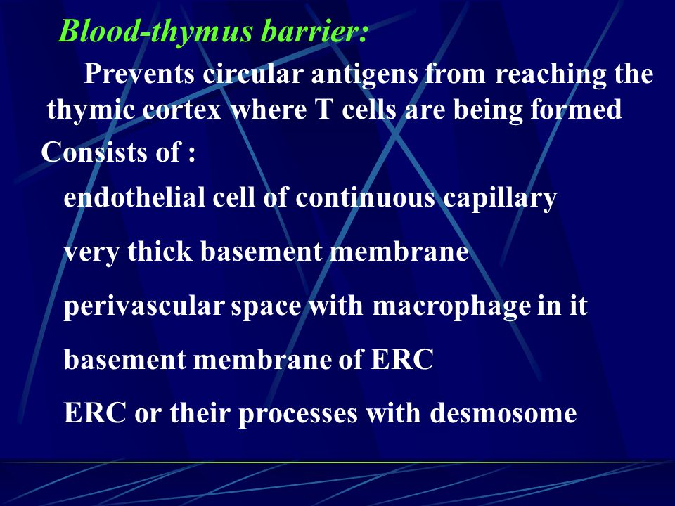 Blood-thymus barrier: endothelial cell of continuous capillary very thick basement membrane perivascular space with macrophage in it basement membrane of ERC ERC or their processes with desmosome Prevents circular antigens from reaching the thymic cortex where T cells are being formed Consists of :