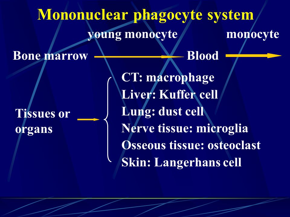 Mononuclear phagocyte system Bone marrow young monocyte Blood monocyte Tissues or organs CT: macrophage Liver: Kuffer cell Lung: dust cell Nerve tissue: microglia Osseous tissue: osteoclast Skin: Langerhans cell