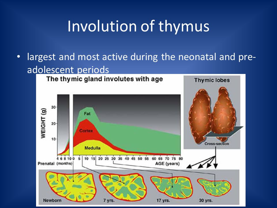 Involution of thymus largest and most active during the neonatal and pre- adolescent periods