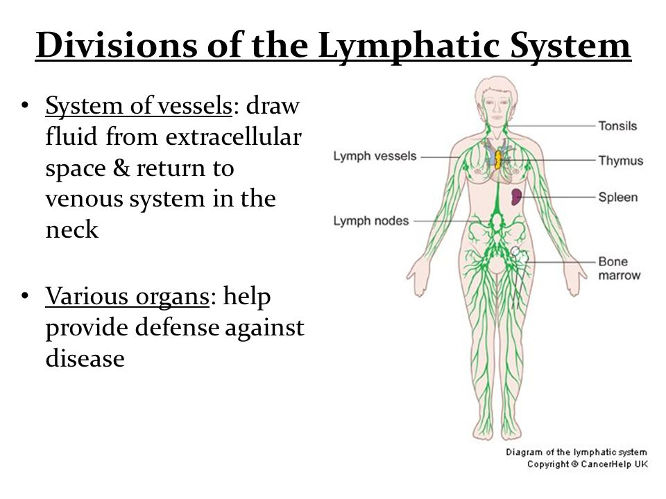Divisions Of The Lymphatic System System Of Vessels Draw Fluid From