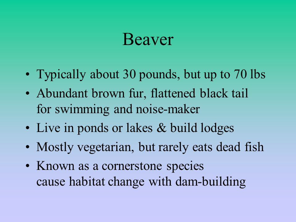 Beaver Typically about 30 pounds, but up to 70 lbs Abundant brown fur, flattened black tail for swimming and noise-maker Live in ponds or lakes & build lodges Mostly vegetarian, but rarely eats dead fish Known as a cornerstone species cause habitat change with dam-building