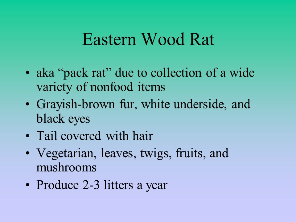 Eastern Wood Rat aka pack rat due to collection of a wide variety of nonfood items Grayish-brown fur, white underside, and black eyes Tail covered with hair Vegetarian, leaves, twigs, fruits, and mushrooms Produce 2-3 litters a year