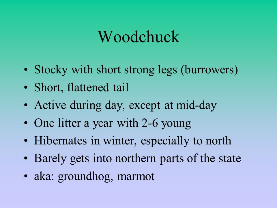 Woodchuck Stocky with short strong legs (burrowers) Short, flattened tail Active during day, except at mid-day One litter a year with 2-6 young Hibernates in winter, especially to north Barely gets into northern parts of the state aka: groundhog, marmot