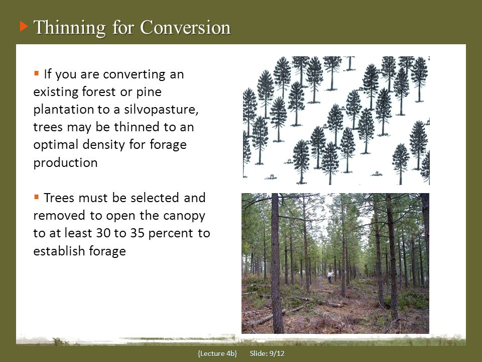 Thinning for Conversion {Lecture 4b} Slide: 9/12  If you are converting an existing forest or pine plantation to a silvopasture, trees may be thinned to an optimal density for forage production  Trees must be selected and removed to open the canopy to at least 30 to 35 percent to establish forage