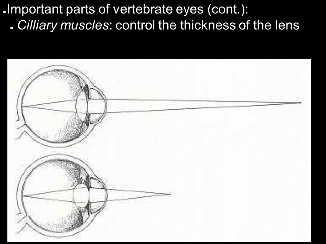 ● Important parts of vertebrate eyes (cont.): ● Cilliary muscles: control the thickness of the lens