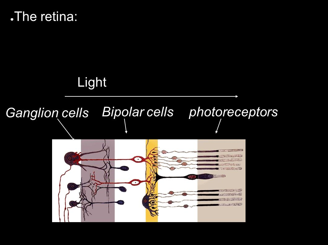 ● The retina: photoreceptorsBipolar cells Ganglion cells Light