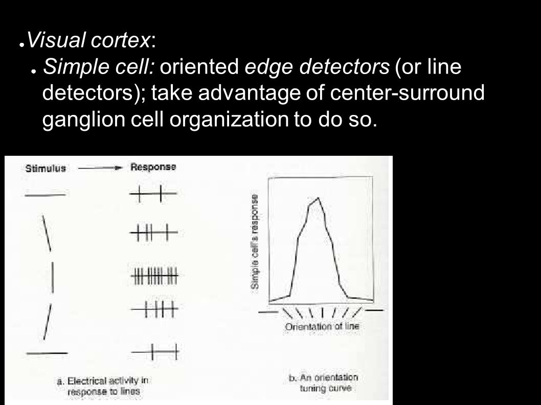 ● Visual cortex: ● Simple cell: oriented edge detectors (or line detectors); take advantage of center-surround ganglion cell organization to do so.