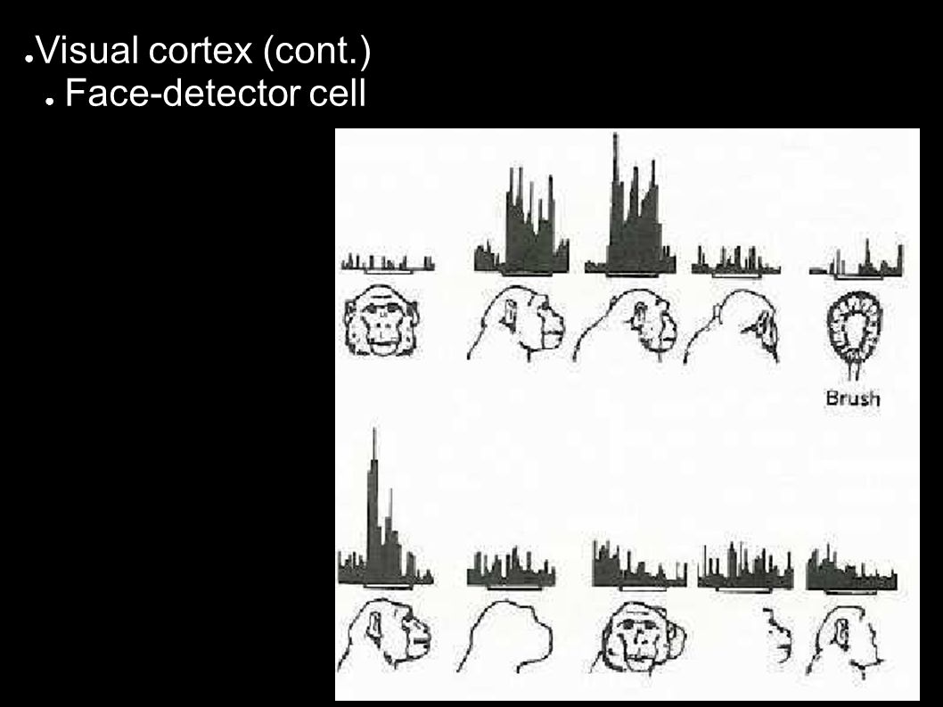 ● Visual cortex (cont.) ● Face-detector cell