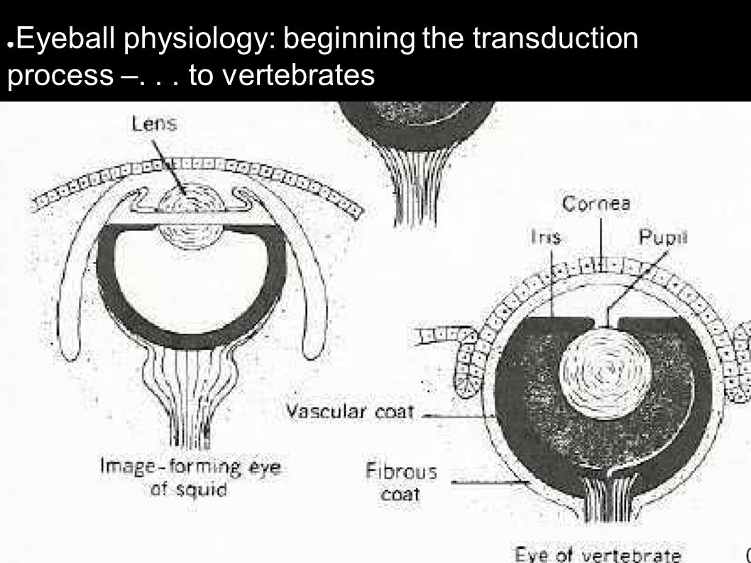 ● Eyeball physiology: beginning the transduction process –... to vertebrates