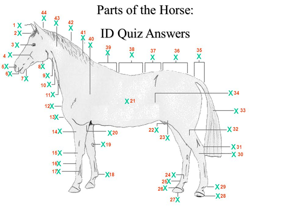 Equine Judging: Parts of the Horse Bellringer: Number 1-44 label the ...