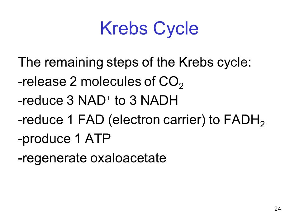 24 Krebs Cycle The remaining steps of the Krebs cycle: -release 2 molecules of CO 2 -reduce 3 NAD + to 3 NADH -reduce 1 FAD (electron carrier) to FADH 2 -produce 1 ATP -regenerate oxaloacetate