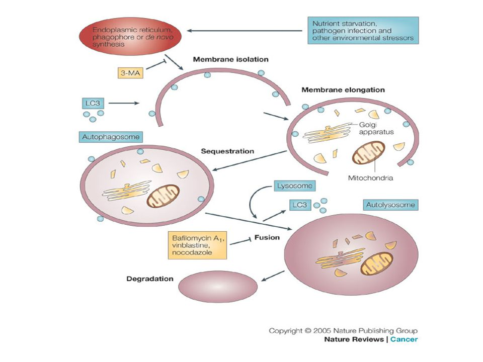 Apoptosis  - ppt download