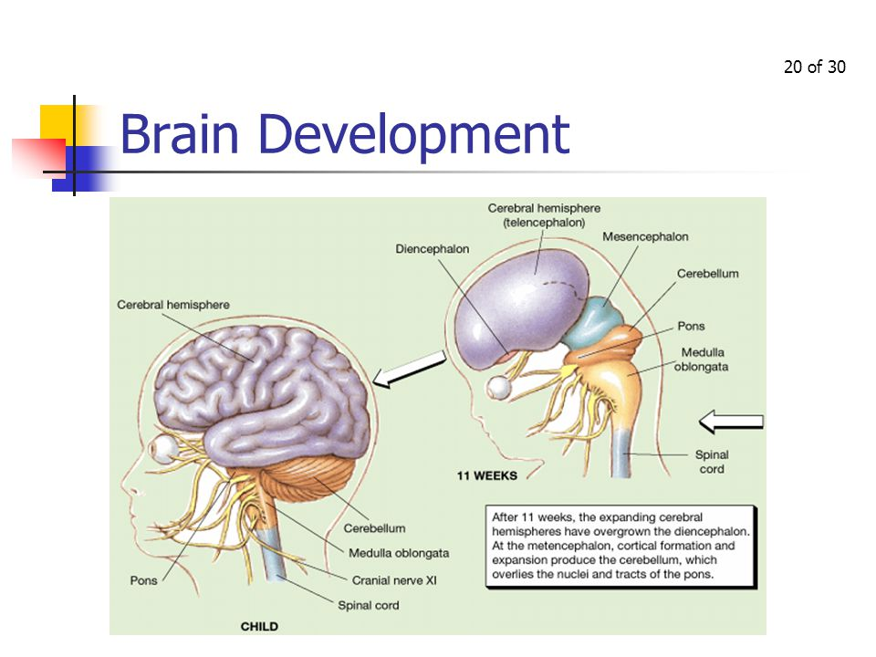 Prenatal Development In which we examine the three stages of