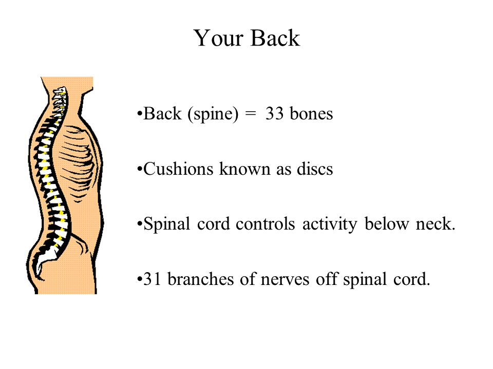 Your Back Back (spine) = 33 bones Cushions known as discs Spinal cord controls activity below neck.