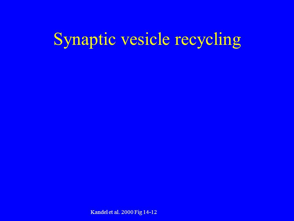 Synaptic vesicle recycling Kandel et al Fig 14-12