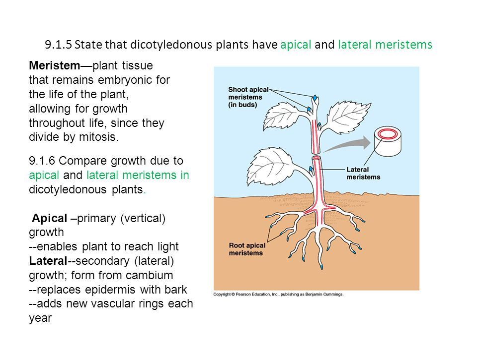 9.1.5 State that dicotyledonous plants have apical and lateral meristems Meristem—plant tissue that remains embryonic for the life of the plant, allowing for growth throughout life, since they divide by mitosis.