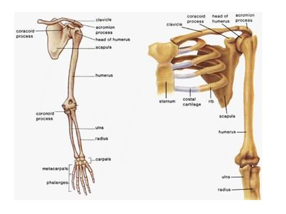 The Appendicular Skeleton Articulations And Movement Ppt Download