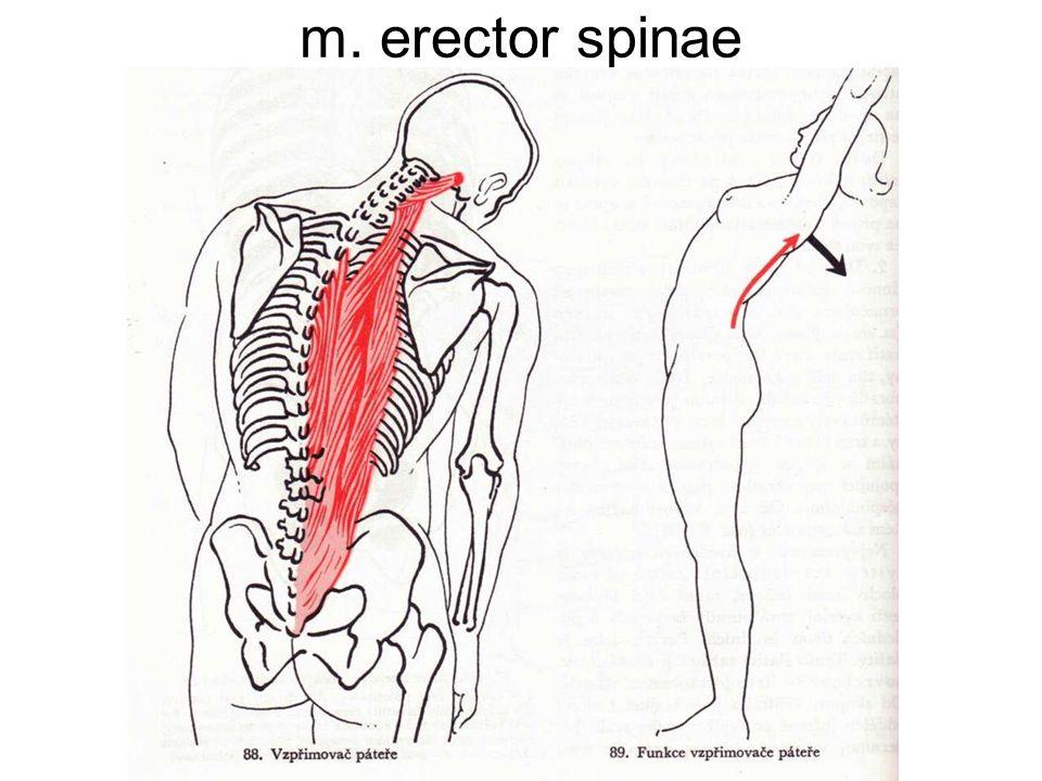 JEDNOTLIVÉ SVALY. m. erector spinae m. rectus abdominis. - ppt download