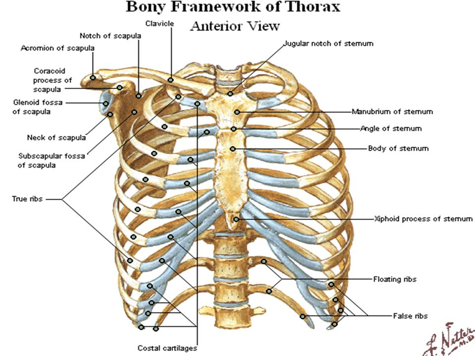 Anatomy Ii The Thorax By Dryahya Al Farra Ppt Video Online Download