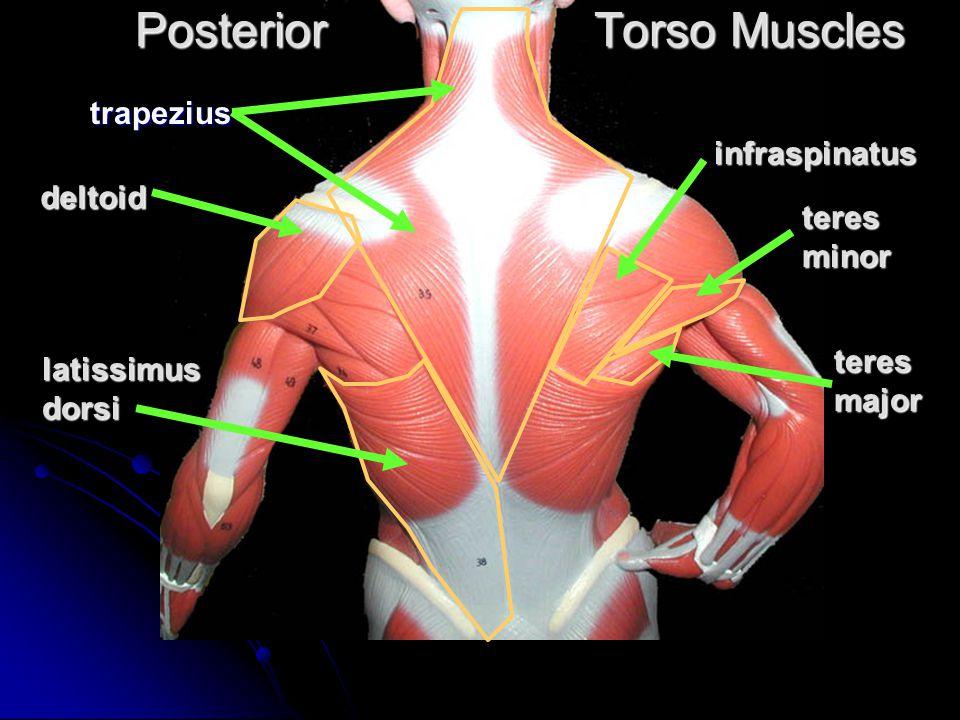 Torso Muscles Posterior Torso Muscles Trapezius Deltoid Latissimus