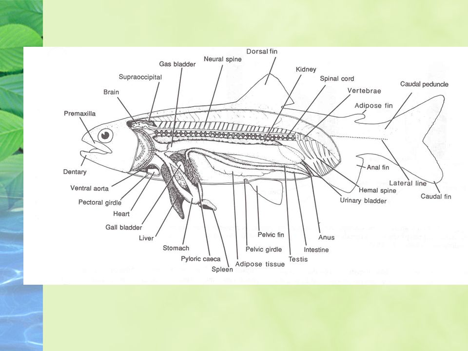 Internal Anatomy of Fish - ppt video online download