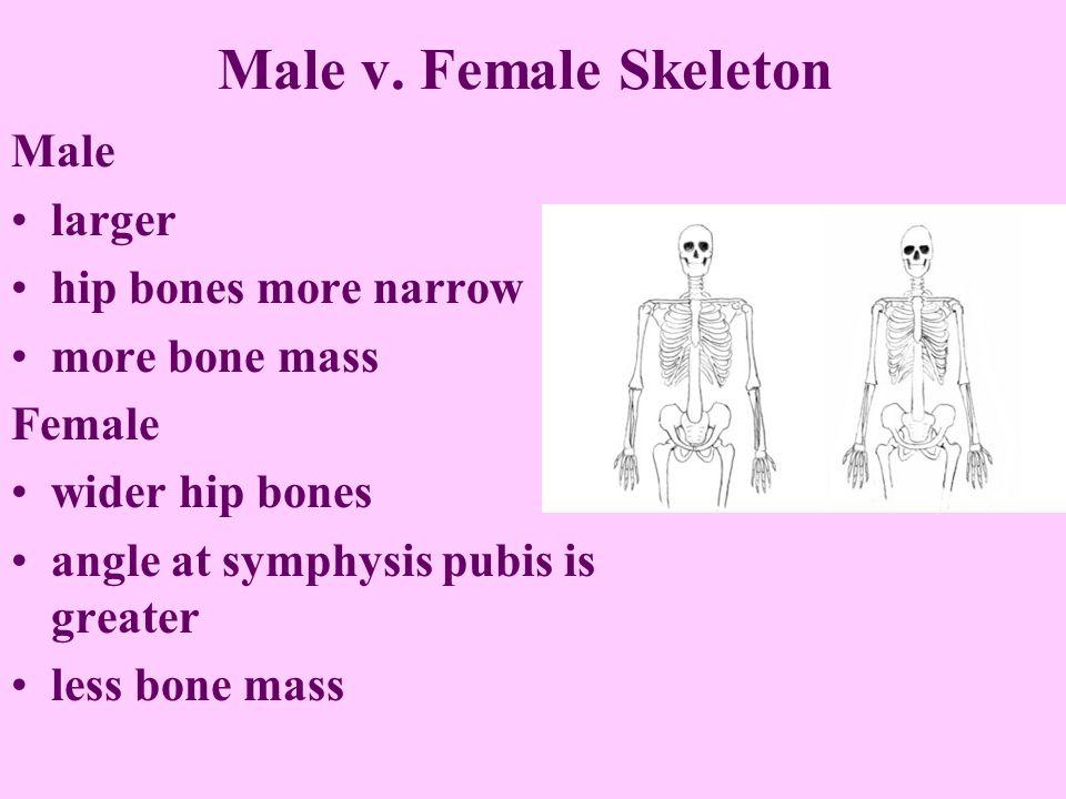 Male V Female Skeleton Male Larger Hip Bones More Narrow More Bone