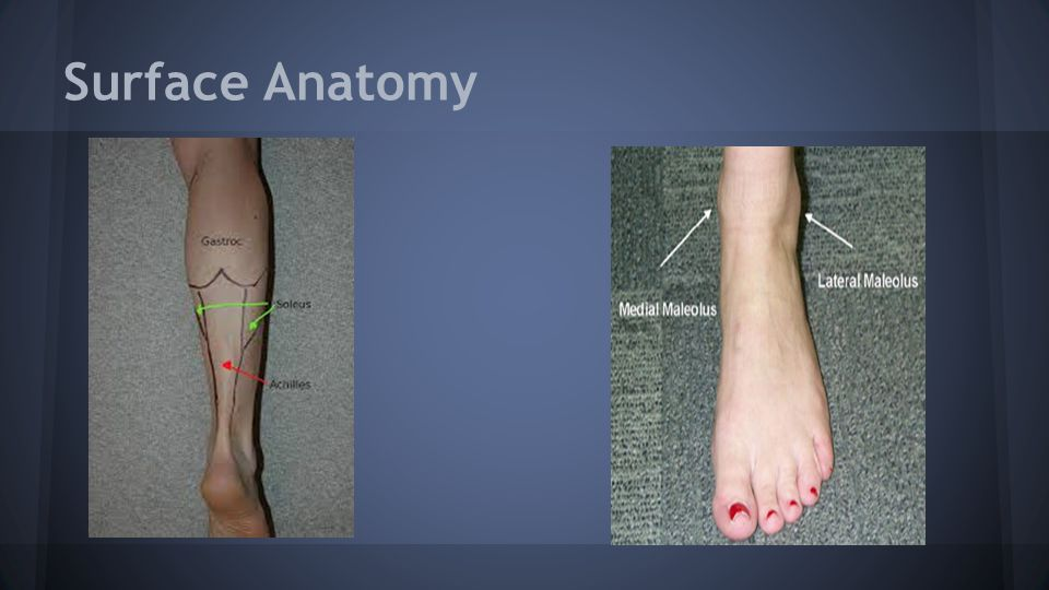 Foot and Ankle Andrea, Colten, Jessica, Tyne. Surface Anatomy. - ppt ...