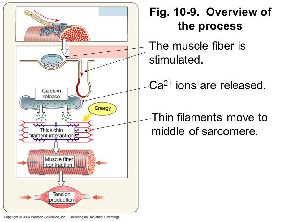 Calcium Sarcomere Diagram Trusted Wiring Diagram