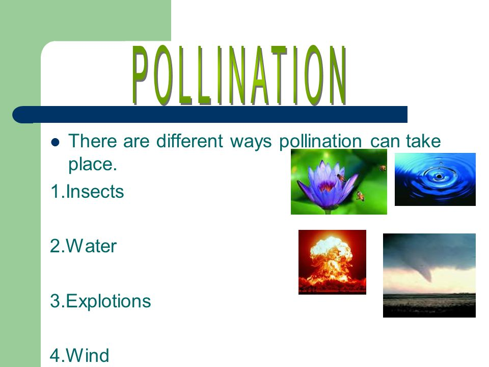 There are different ways pollination can take place. 1.Insects 2.Water 3.Explotions 4.Wind