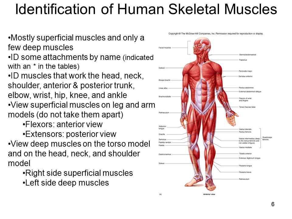 All about Muscular System Facts Functions Amp Diseases Live Science ...