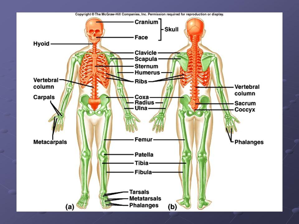 Basic Anatomy and Biomechanics PE 254. Functions of the ...