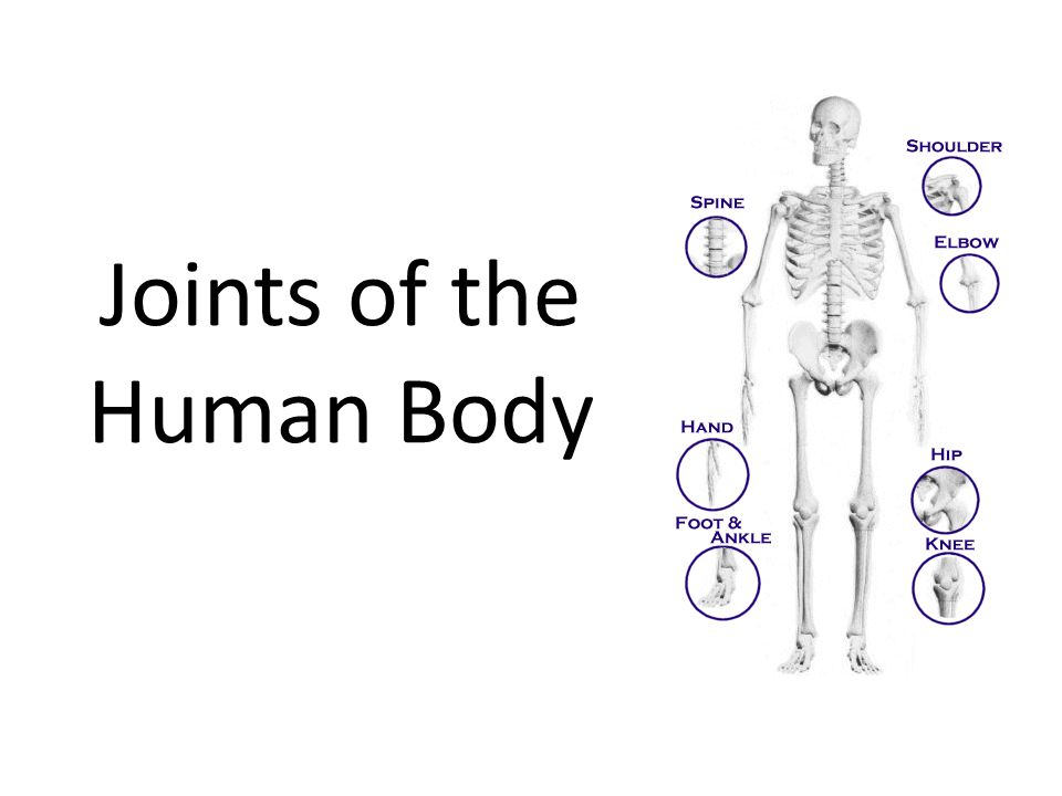 Joints Of The Human Body Joints Joints Are The Or Articulations