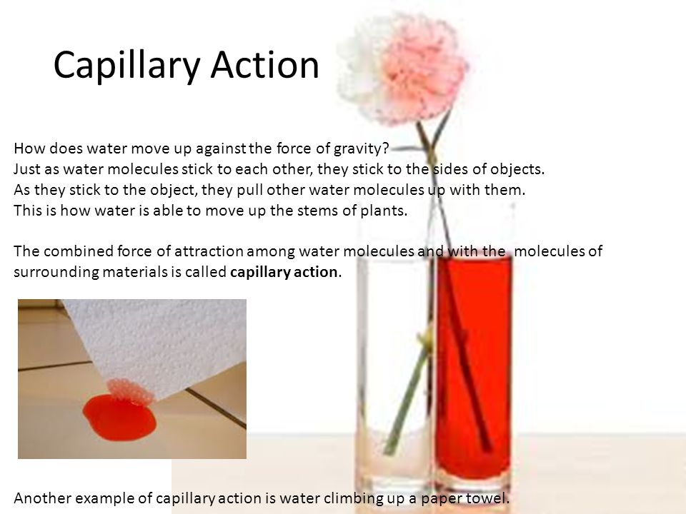 Capillary Action How does water move up against the force of gravity.