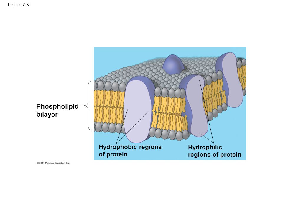 Ch 8 Diagrams Cell Transport Figure 72 Hydrophilic Head
