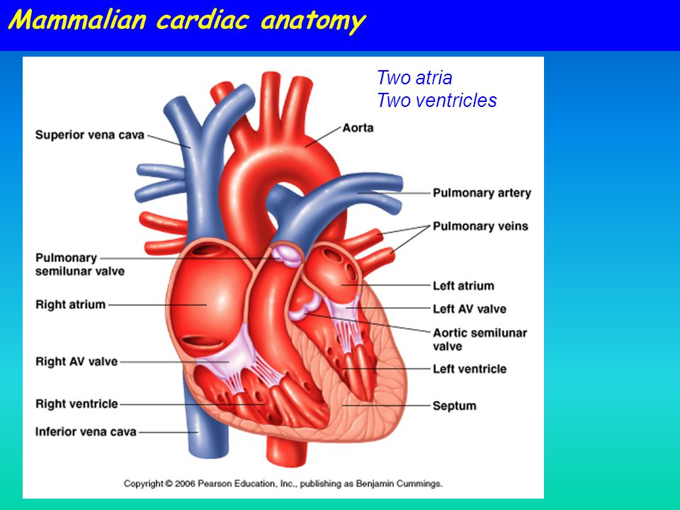 Vertebrate Closed Circulatory Systems Closed circulatory systems ...