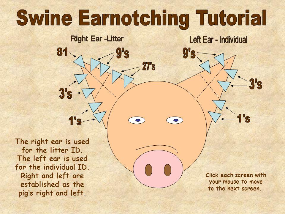 Ear Notching Tutorials From Aultcurriculumviewercurriculum