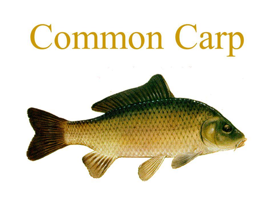 Wildlife and Recreation Management Mr. Lemmons Freshwater Fish ...