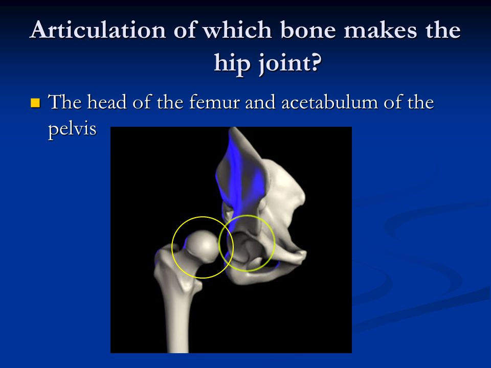 Articulation of which bone makes the hip joint.