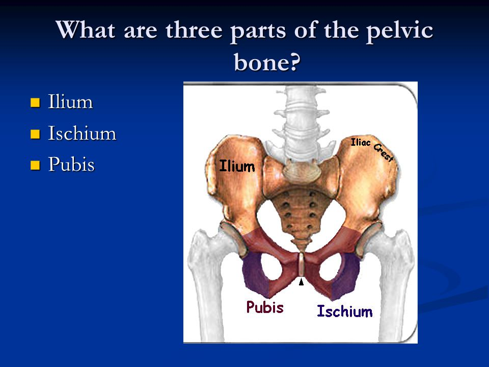 What are three parts of the pelvic bone Ilium Ilium Ischium Ischium Pubis Pubis