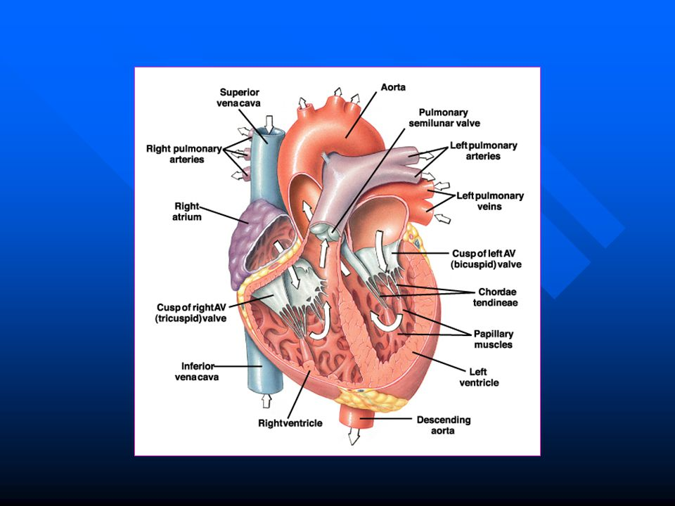 The cardiac cycle In the normal heart, cardiac activity is repeated ...