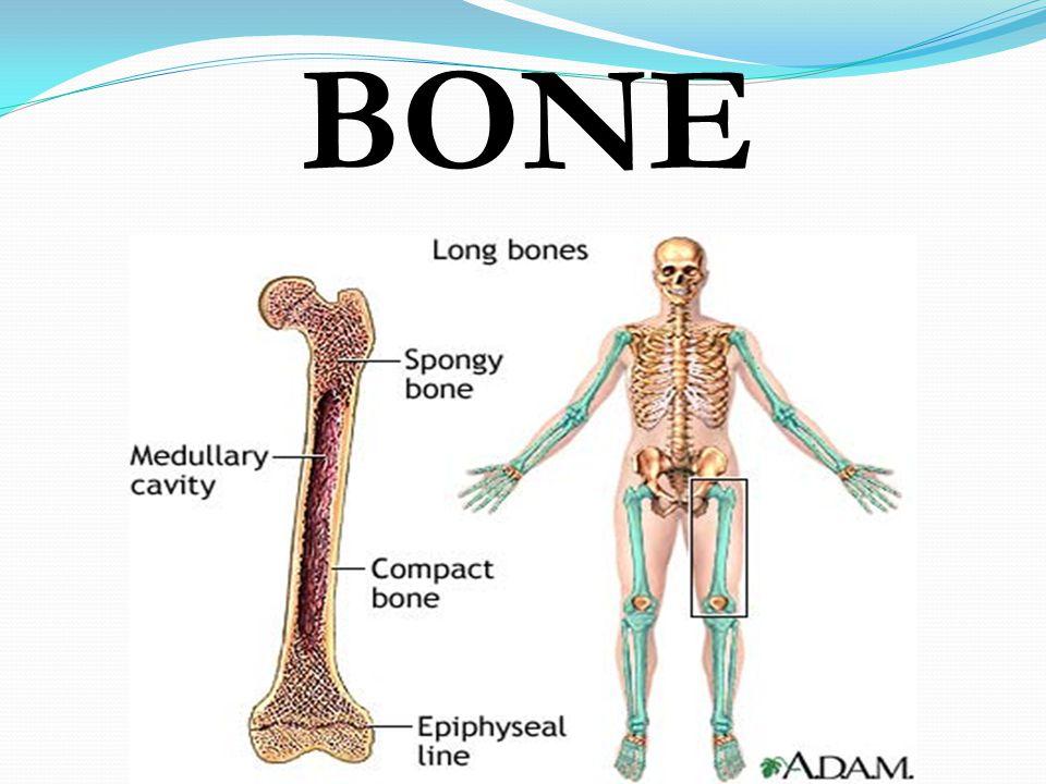 BONE Parts of the skeletal system  Bones (skeleton)  Joints ...
