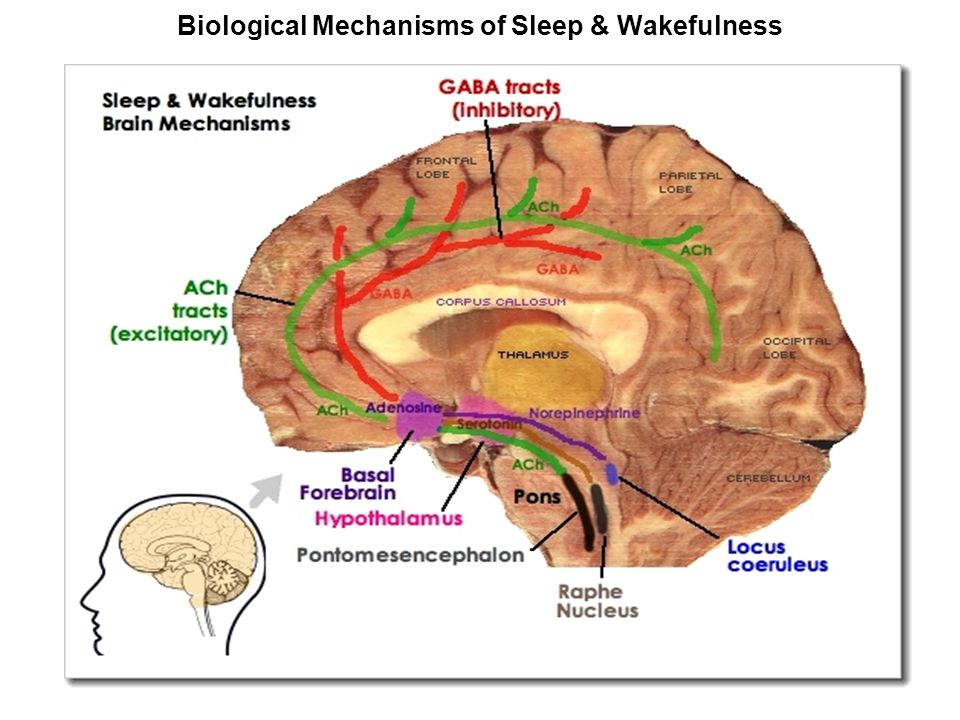 Anatomical and physiological bases of consciousness and sleep wake ...