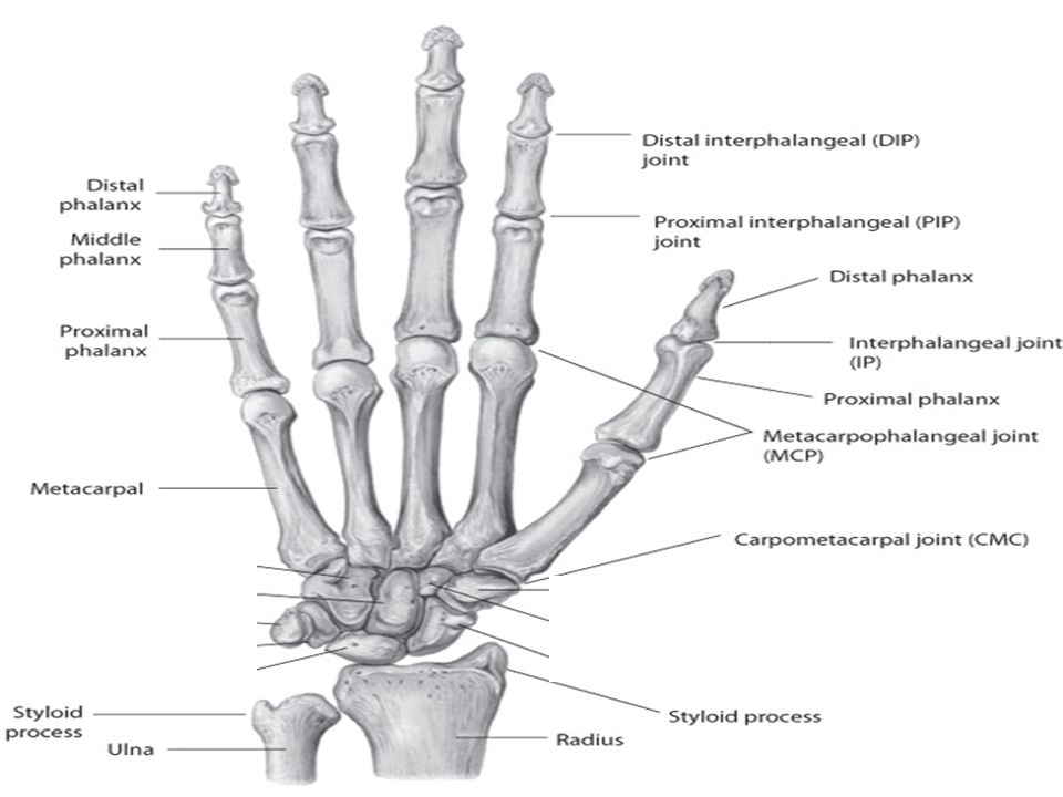 The Wrist And Hand Joints Ppt Video Online Download