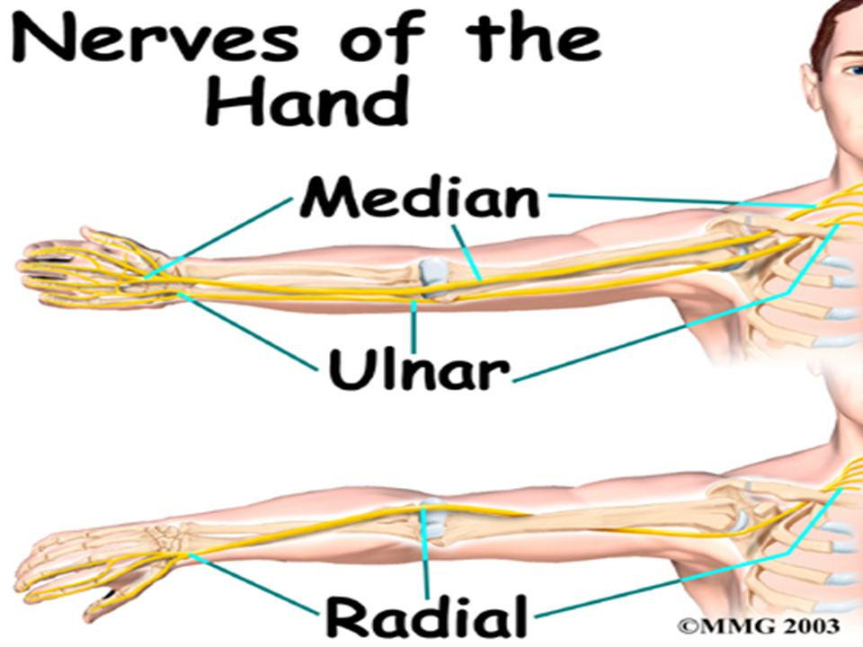Bones, Joints, and Muscles of the Forearm, Wrist, and Hand - ppt ...