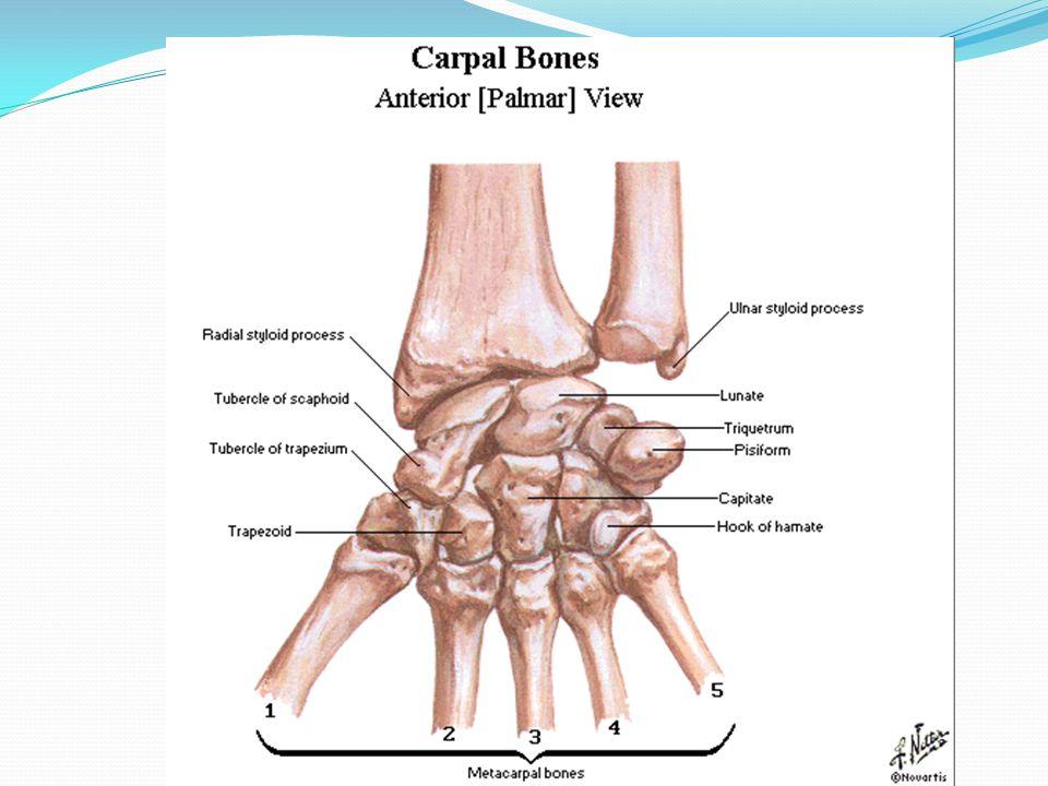 Forearm Wrist Hand Anatomy Ppt Video Online Download