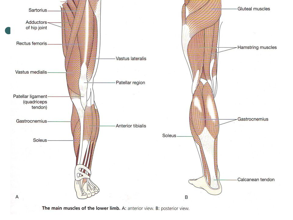 Major Muscles Hands And Arms Legs And Feet Wrbcs204a Apply Knowledge